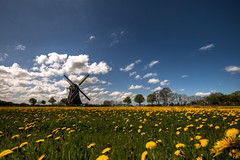 The Phoenix (Frenklin) Tags: mill windmill phoenix dutch landscape dandelion groningen common hdr molen windmolen zuidwolde krimstermolen bedum taraxacum paardebloem paardenbloem officinale paardenbloemen noordwolde
