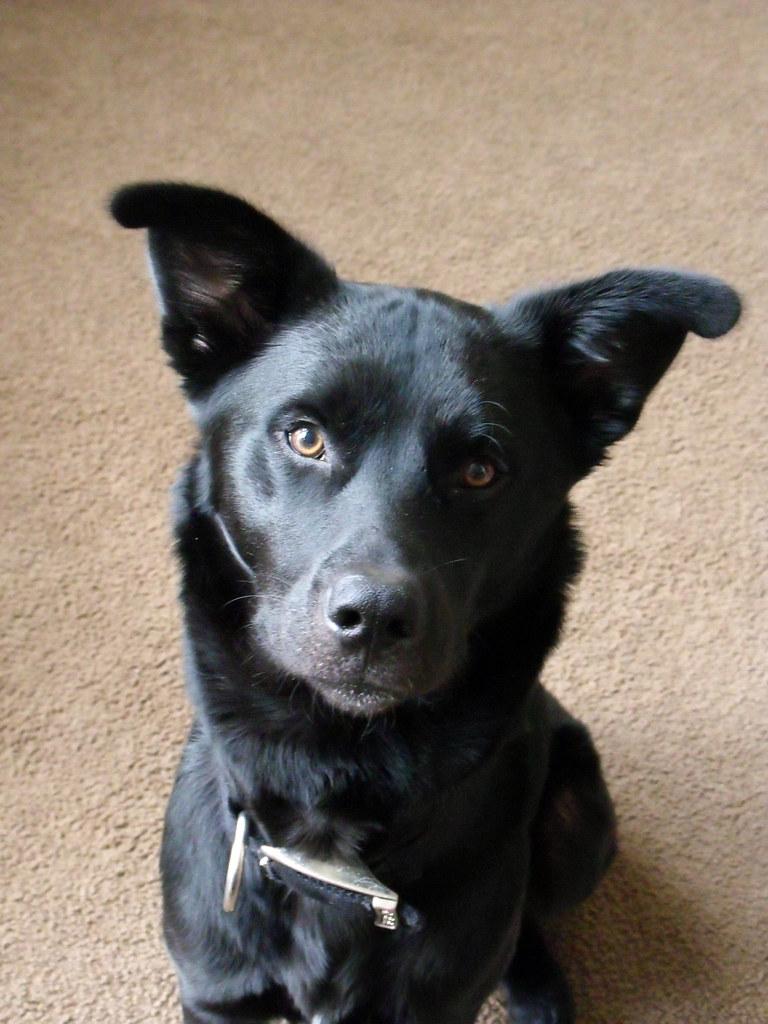 Does Anyone Own a Black Lab Shepherd Husky Mix Australian Shepherd Black Lab Mix Blue Eyes