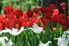 more (floridagull) Tags: red white tulips delight naturalbeauty fora joli byrequest woodlandgarden floridagull mahnifique