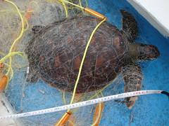 營建署海管處990512圖1綠蠵龜被廢棄漁網纏繞