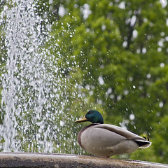 Like water off a duck's back (NRG Photos) Tags: trees bird water fountain duck drops wasser brunnen sixwordstory ente bäume vogel tropfen