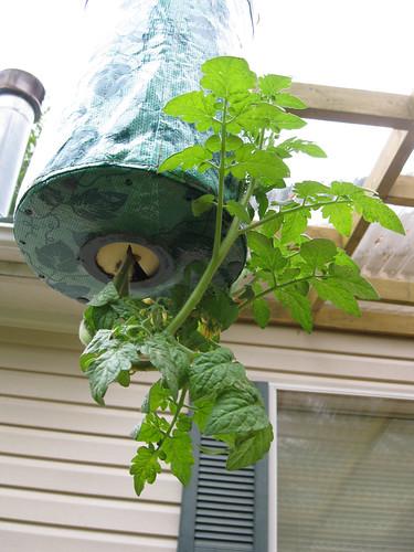 Topsy Turvy Cherry Tomato Plants