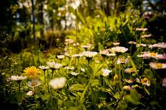 (marcos rv) Tags: flowers espaa flores flower spring spain bokeh flor abril april fiori aprile fiore margaritas spagna 2010 ourense orense souto primaver snappybookflores