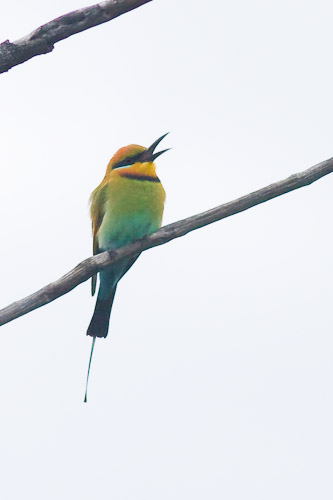 male rainbow bee-eater