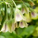 Photo: Allium siculum