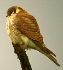 American Kestrel (orencobirder) Tags: flickrexport hawks digiscope largebirds