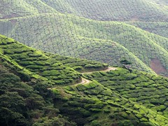 Hills of Pruned Tea Trees