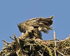 Working One's Way Around A Reluctant Owlet (jimgspokane) Tags: birds wildlife owls birdsofprey greathornedowls owlets onlythebestare thewonderfulworldofbirds