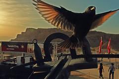 Free bird (A   M) Tags: sea festival dead israel desert roman  masada 2010 catapult judea      onychognathus     tristams  tristramii
