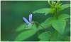 Good Morning (Naseer Ommer) Tags: india flower flora kerala capparaceae canon100mm naseerommer canoneos5dmarkii dpintl discoverplanetinternational