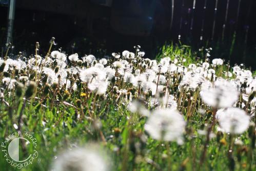 dandelion seed-3