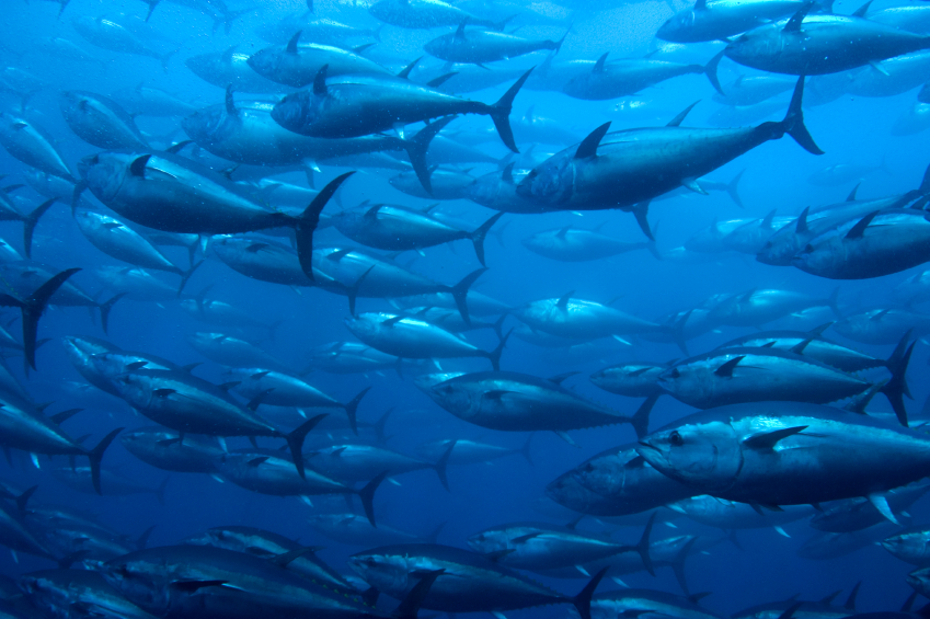 Image result for Atlantic Bluefin Tuna Reproduction