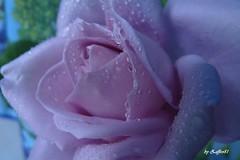 Rosa1 (zaffiro81) Tags: flowers rose fiori rugiada zaffiro81