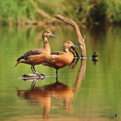 Lesser Whistling-Duck | Berdua Lebih Baik (Sir Mart Outdoorgraphy) Tags: birds magazine education nikon photographer bokeh outdoor birding best malaysia penang indah waterfowl birdwatching birder butterworth birdisland byram flyingduck unik whistlingduck nikonian d90 migratorybirds bairam menarik lesserwhistlingduck nikonuser nibongtebal jurugambar penangflickr sigma150500 pulauburung sirmart outdoorgraphy penangflickrgroup pulauburong