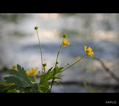Dopo la Pioggia.... (CARLORICCI) Tags: italy lago nikon italia carlo fullframe fx fiore pioggia viterbo lazio ronciglione lagodivico d700