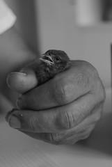 mi fido di te (lady stardust////) Tags: bird mani nido biancoenero uccello