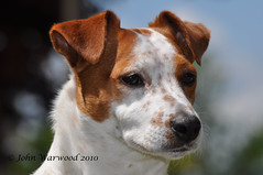 Less than one week to go (JRT ) Tags: trees portrait sky dog sun jack eyes nikon jrt russell bokeh sunny ears terrier jackrussell belle jackrussellterrier d90 thegalaxy brownhead johnwarwood flickrjrt vigilantphotographersunite vpu2 photographyforrecreationclassic