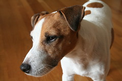 Seamus The Articulate (marylea) Tags: dog jrt expression handsome seamus communication terrier jackrussell 2009 jackrussellterrier nuance articulate simile parsonrussell sep8 parsonrussellterrier phrasing