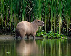 unNative Texan (gseloff) Tags: kayak texas wildlife pasadena capybara armandbayou top20texas gseloff earthnaturelife galvestonbayestuary