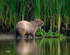 unNative Texan (gseloff) Tags: kayak texas wildlife pasadena capybara armandbayou top20texas gseloff earthnaturelife galvestonbayestuary