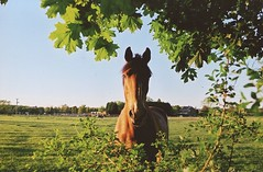 handsome horse flies (Adele M. Reed) Tags: summer horse sun film 35mm hair countryside ginger warm leicestershire handsome ears 200 fields canoneos kodacolor sheepy