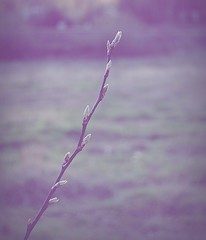 Out of Nowhere (Photographymax) Tags: light nature vintage out one 1 evening branch colours nowhere growth buds process tones comments