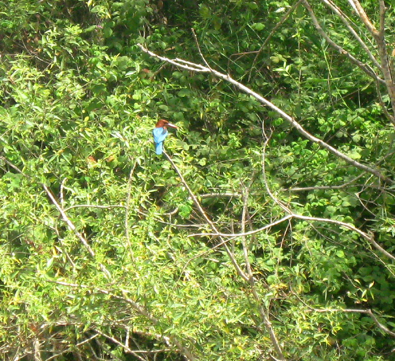 05-06-2010-resting-kingfisher