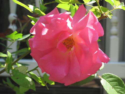 "Rose ""Zepherine Drouhin"""
