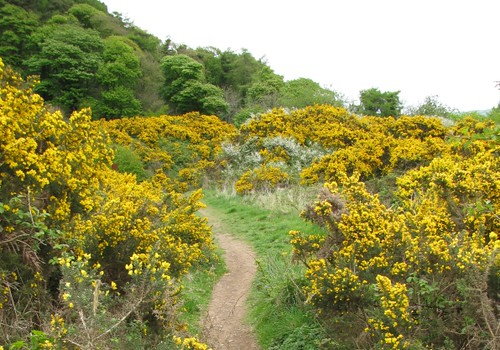 Path through bushes in Cavehill Country Park