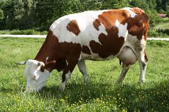 Mangiare sano ! (mimmama) Tags: latte mucca formaggio molise pascolare ruminare