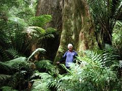 Otways tree worth hugging, with Koalas in the area.. (spelio) Tags: ocean road travel 2002 great oct favorites australia victoria favourites vic favs otways 4views