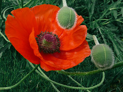 Poppy (Päivi ♪♫) Tags: oslo norway poppy mywinners colorphotoaward ysplix oslobotanicalgardens awesomeblossoms 100commentgroup platinumpeaceaward bestofmywinners havetocheckwhichpoppy