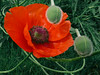 Poppy (Päivi ♪♫) Tags: oslo norway poppy mywinners colorphotoaward ysplix oslobotanicalgardens awesomeblossoms 100commentgroup platinumpeaceaward bestofmywinners havetocheckwhichpoppy