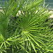 Photo: Chamaerops Humilis