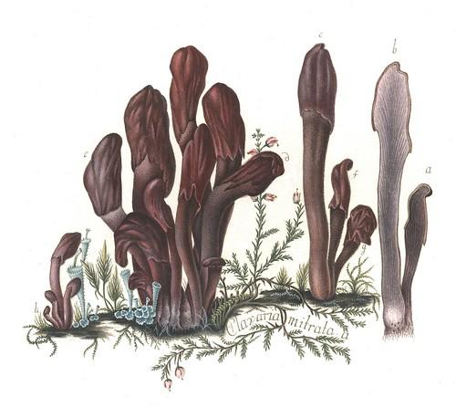 Clavaria mitrata