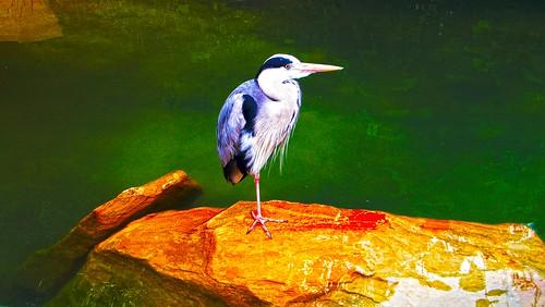 Heron in dublin zoo