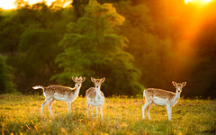 once upon a time (andrew evans.) Tags: lighting morning light england sun nature fairytale forest sunrise landscape golden kent spring nikon bokeh wildlife deer ethereal flare rays sunrays wonderland storybook magical 70200 f28 enchanted d3