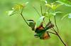Green Bee-eater- Merops orientalis (drgeorgemj) Tags: top20nature meropsorientalis greenbeeeater