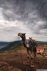 HDR Camel (recaptured) Tags: interestingness explore dynamicrange ultrawide hdr ultrawideangle 1116 magicdonkey explored panchganimahabaleshwar