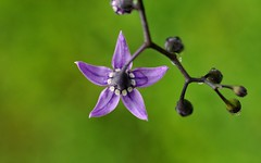 Nightshade Blossom (HorsePunchKid) Tags: desktop wallpaper 1920x1200 solanaceae solanales taxonomy:family=solanaceae taxonomy:kingdom=plantae taxonomy:order=solanales taxonomy:phylum=magnoliophyta taxonomy:claderoot=plantae clade:plantae=magnoliophyta clade:magnoliophyta=magnoliopsida clade:magnoliopsida=solanales clade:solanales=solanaceae clade:plantae=tracheophyta clade:tracheophyta=magnoliopsida taxonomy:eolid=4437 taxon