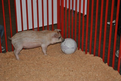 pig playing soccer