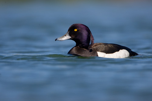 Tufted Duck - D2X3712