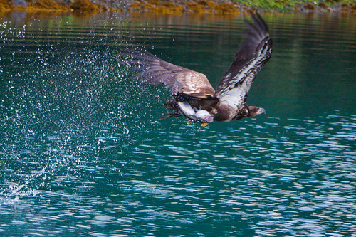 Off with the catch, Yakutat, Alaska