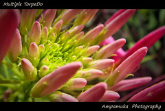 Multiple Torpedo (Spider Flower) /     () (AmpamukA) Tags: pink plant flower macro green beautiful spider natural l multiple torpedo capture  cleome spinosa      totallythailand updatecollection ampamuka caparidaceae tripleniceshot