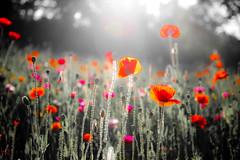 [フリー画像] 花・植物, ケシ科, 花畑, ヒナゲシ, 赤色の花, 201006230700
