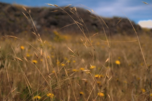 California Oat Grass (Danthonia californica) by Joe Rocchio
