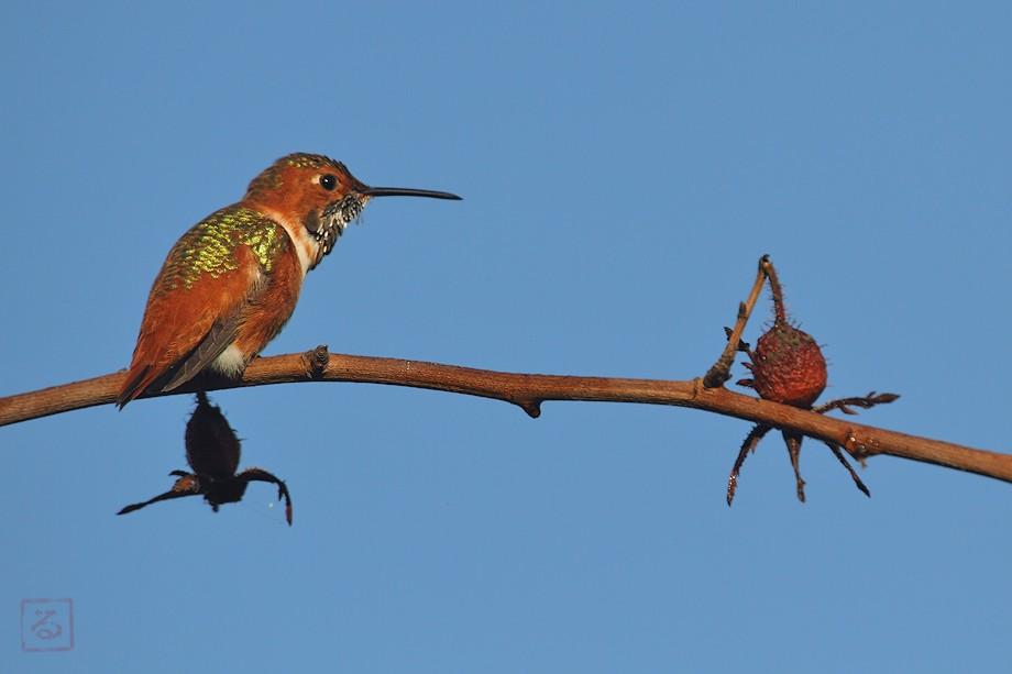 Allen's Hummingbird 10101-4-2