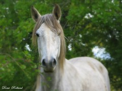 Prince Blanc (Domi Rolland ) Tags: france nature animal cheval europe blanc fort shadowfax aveyron midipyrnes