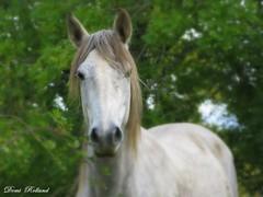 Prince Blanc (Domi Rolland ) Tags: france nature animal cheval europe blanc forêt shadowfax aveyron midipyrénées
