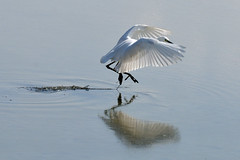 Egretta garzetta (myu-myu) Tags: bird nature japan pond nikon ngc littleegret egrettagarzetta   d300s